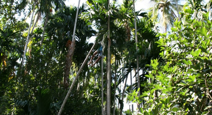 savoi plantation 1