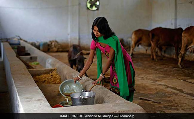 Attendant pours urine from a collection bowl into a container at a cow shelter where urine is processed.