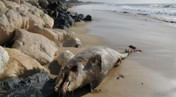 Dead Dolphin Washes ashore at Ashvem Beach in North Goa